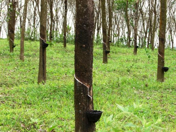 gummidukar från trädet
